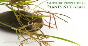 ayurvedic-properties-of-plants-nut-grass