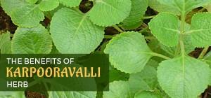 karpoorravalli-Herb