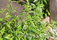 Andrographis paniculata medicinal uses
