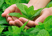 Ayurvedic Properties of Tulsi Leaves