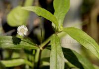 Eclipta Herb Uses