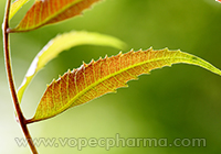 The Medicinal Properties of Neem